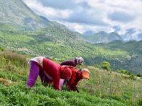 BBC: Bimët në malet shqiptare që na mbajnë të rinj. Ç'fshihet pas reklamave të kremrave mrekullibërës